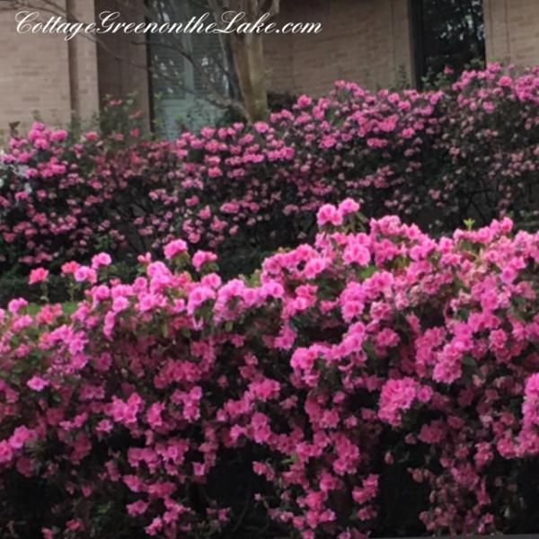2 double row azaleas.png