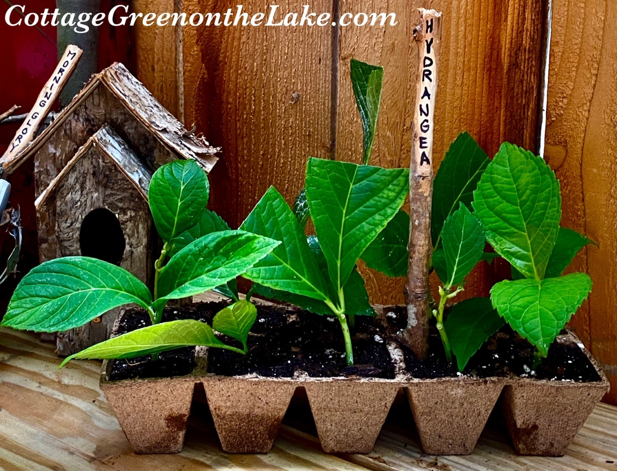 In the Cottage Greenhouse … DIY Plant Markers and Propagating Hydrangea